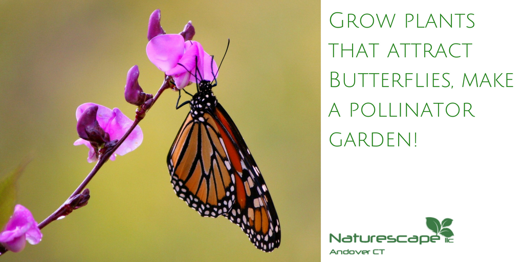 grow plants that attract butterflies