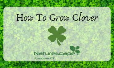 how to grow clover